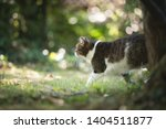 side view of a tabby white... | Shutterstock . vector #1404511877