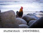 Wild Feral Rooster Chicken On ...