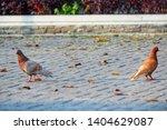 couple of brown pigeon ... | Shutterstock . vector #1404629087