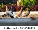 four pigeons  columbidae  on... | Shutterstock . vector #1404632084
