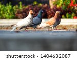 four pigeons  columbidae  on... | Shutterstock . vector #1404632087