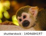Squirrel Monkey.squirrel Monkey ...