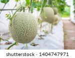 fresh green japanese cantaloupe ... | Shutterstock . vector #1404747971