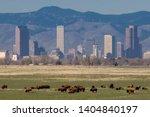 Colorado wildlife   bison herd...