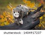 Opossum  Didelphimorphia ...
