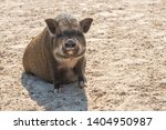 A Cute Pot Belly Pig While...