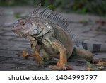 Iguana tropic exotic animal...
