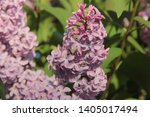 lilac flowers on a bush ...   Shutterstock . vector #1405017494