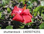 red hibiscus flower in a... | Shutterstock . vector #1405074251
