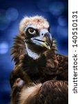 Small photo of Portrait of a Cinereous Vulture (Aegypius monachus)