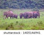 Asian Elephant Alphas Maximus...