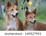 Two Dingoes Look For Possible...