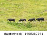 four eringer cows  from val d... | Shutterstock . vector #1405387391
