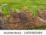 Green Algae On The Rock