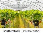 Hydroponics Strawberry In...