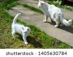 Stock photo cats white cat with a kitten walking in the yard homeless kittens want to eat animals on the 1405630784