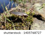 Creepy Giant Water Bug Lethocerus americanus out of water