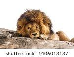 Beautiful Male Lion Lying On A...