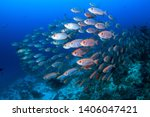 A Shoal Of Schooling Red Silve...