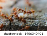 Red imported fire ant action of ...