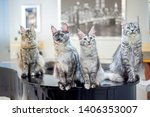 Four Maine Coon Cats Sitting O...