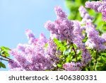 Spring Blooming Lilac Tree...