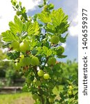 Small photo of Ripe green gooseberries hanging at the gooseberry bush. Juicy gooseberry detailed in the sunlight in spring day on the green garden. Green background or wallpaper.