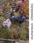 Small photo of Skulk of Red Fox (Vulpes vulpes) Gather at Shore Autumn - captive animals