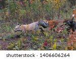 Small photo of Skulk of Red Fox (Vulpes vulpes) Runs Left Autumn - captive animals