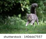 Stock photo playful young blue tabby maine coon cat jumping over meadow floating in the air looking straight 1406667557