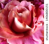 Stock photo macro photo nature blooming bud of a pink rose background opened rose bud rosebud with pink 1406800151