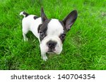 Stock photo french bulldog puppy on the grass 140704354