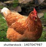A Rhode Island Red Chicken.