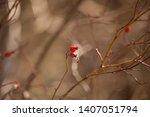 wild rose hips. rose hips in... | Shutterstock . vector #1407051794