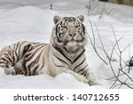 A White Bengal Tiger  Calm...