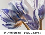 Stock photo white tulips with blue stripes on the petals abstract composition on a white background 1407253967