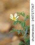 Oenothera Glazioviana Yellow...