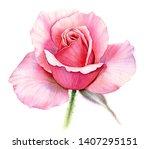 Watercolor Pink Rose. Detailed...