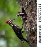 Pileated Woodpecker Nest In...