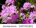 A Fat Humble Bee Munching...