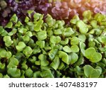healthy and fresh micro greens | Shutterstock . vector #1407483197