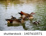 Egyptian Goose  Is A Member Of...