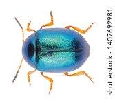 Leaf Beetle Colaphus Sophiae...