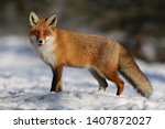 Red Fox In White Snow. Cold...