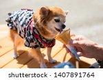 Cute Pomeranian Puppy Dog With...