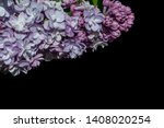 Branch of lilac terry lilac in...