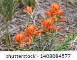 Indian  Paintbrush Flower Castilleja ssp