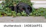 dog  black dog  canine  pet ...   Shutterstock . vector #1408166951