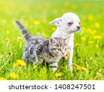Stock photo chihuahua puppy and a kitten walking together on a dandelion field 1408247501