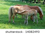 Mother horse with young sucking colt on green grass - stock photo